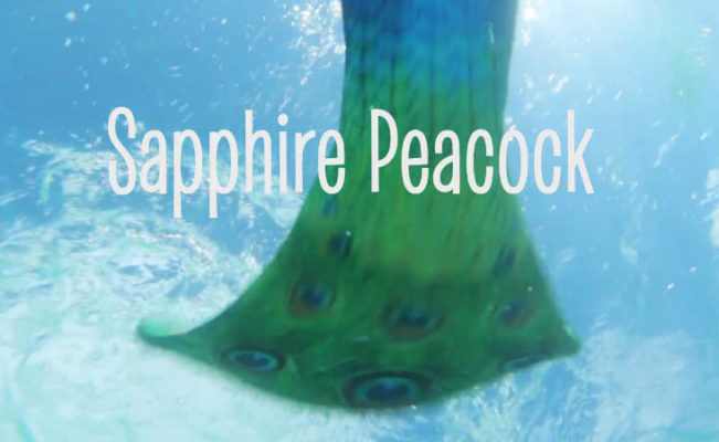 Sapphire Peacock- New Fin Fun Limited Edition Tail